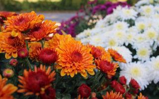 Что делать с хризантемой весной
