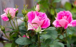 Весенний уход за розами в саду