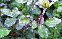 Болезни садовых роз и их лечение