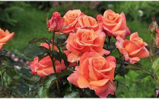 Все об уходе за чайно-гибридными розами