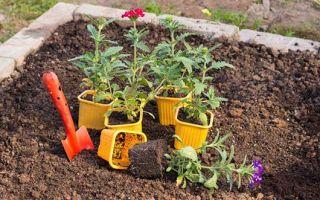 Выращивание вербены из семян