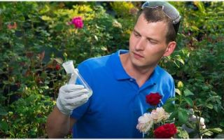 Как защитить розы от болезней — обзор фунгицидов