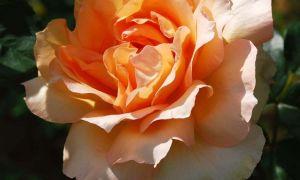 Фитоспорин М для роз