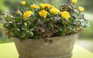 Спасаем комнатную розу: желтеют и опадают листья