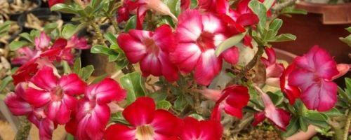 Адениум — уход и выращивание из семян