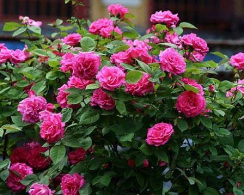 Удобрения для садовых роз