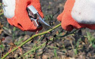 Когда и как обрезать розы весной