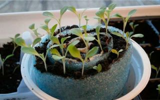 Выращивание рассады цветов в «улитке»