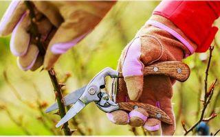 Выращивание садовых роз: обрезка