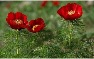 Пион тонколистный, уход и выращивание в цветнике