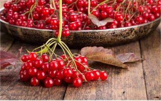 Калина красная — полезные свойства