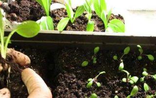 Выращивание петуньи из семян