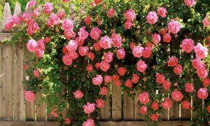 А вы знаете, что такое роза-шраб