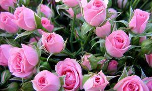 Душистые и ароматные сорта роз