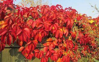 Растения для вертикального озеленения: девичий виноград