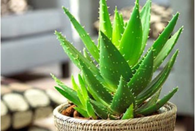 алоэ комнатное растение родина растения