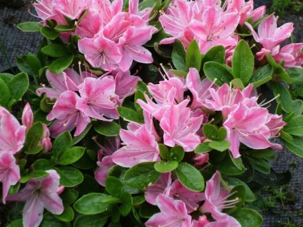 Цветок азалия уход в домашних условиях
