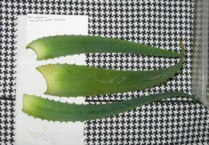как размножить алоэ