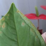 антуриум болезни листьев