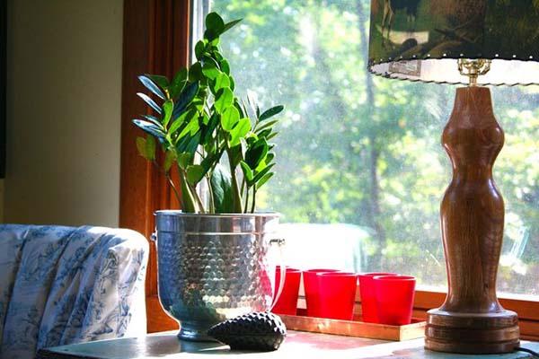 Замиокулькас пересадка в домашних условиях