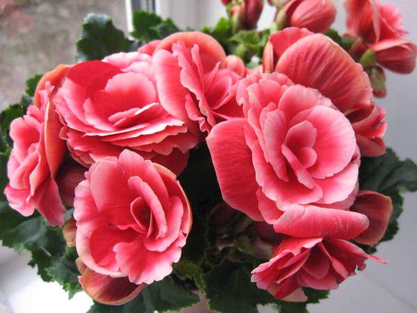 Цветок бегония и сорта