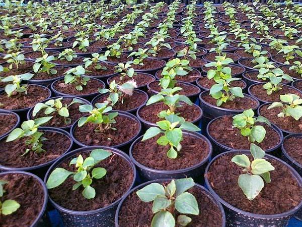 бальзамин выращивание из семян