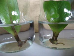замиокулькас размножение