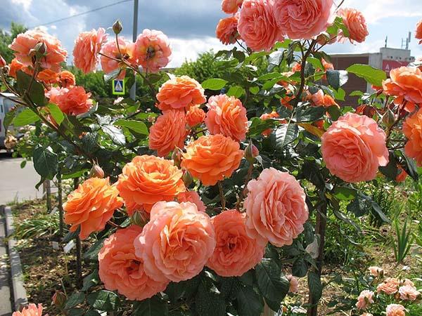 роза шраб сорта