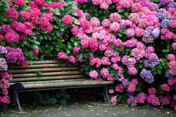 гортензия садовая сорта для урала