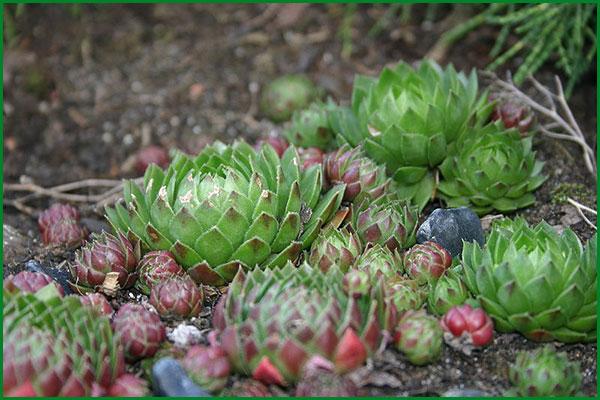 растения для альпийской горки молодило