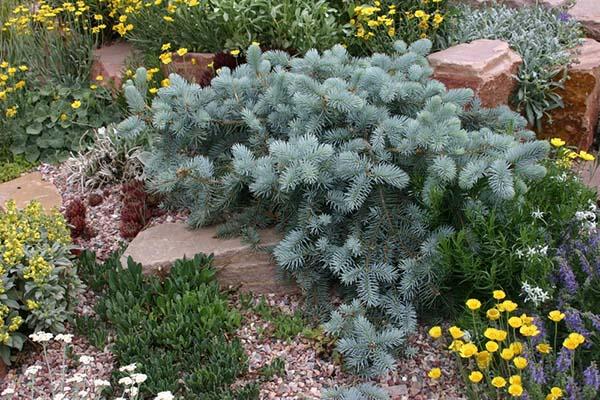 хвойгые растения для альпийской горки