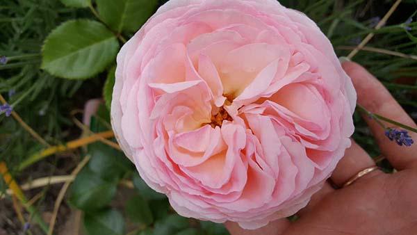 розы шраб сорта