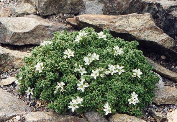 растения для альпийской горки аренария