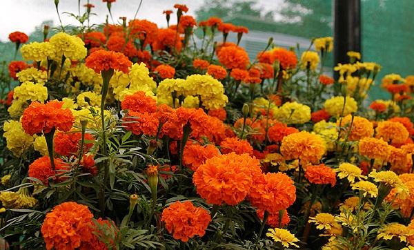растения для альпийской горке бархатцы