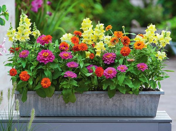 Астра. Виды и сорта садовой астры - Садовые цветы
