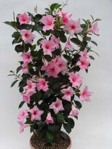 цветок дипладения уход