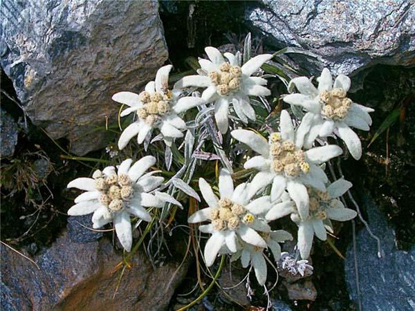 растения для альпийской горки эдельвейс