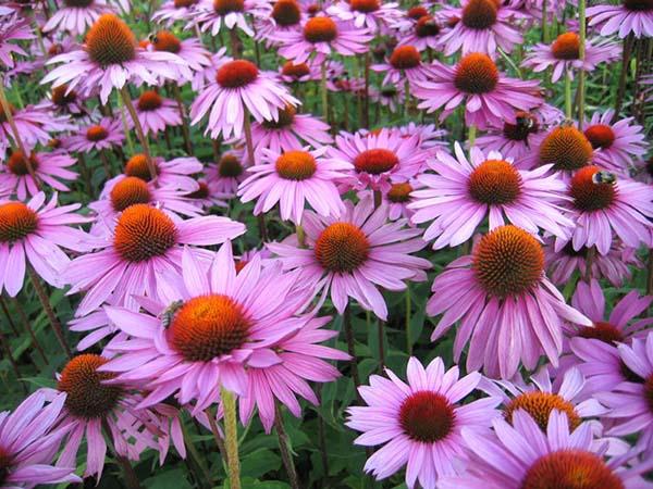 растения для альпийской горки цветущие все лето