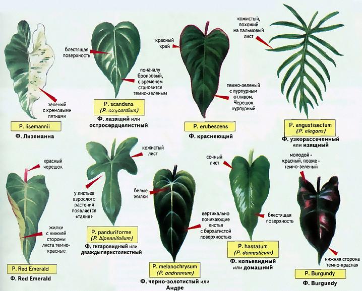 филодендрон домашний, листья филодендрона