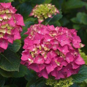 гортензия крупноцветковая
