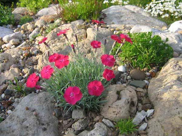 растения для альпийской горки гвоздика