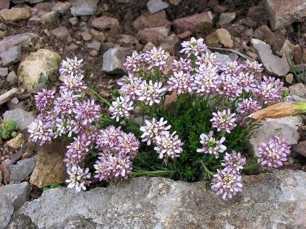растения для альпийской горки иберис