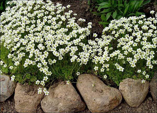 растения для альпийской горки камнеломка