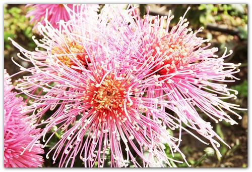хризантемы садовые сорта