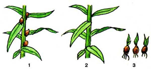 Размножение лилии бульбочками