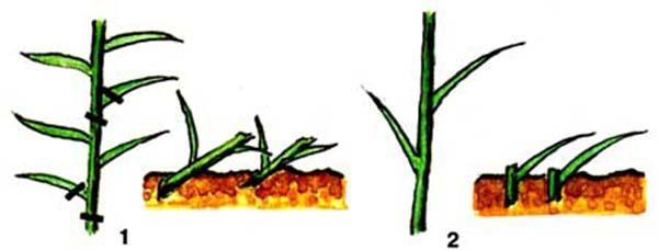 Размножение лилий черенками