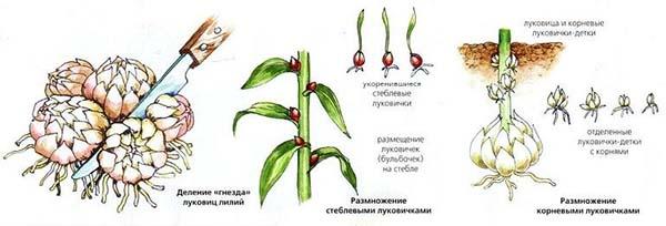 выращивание лилий размножение