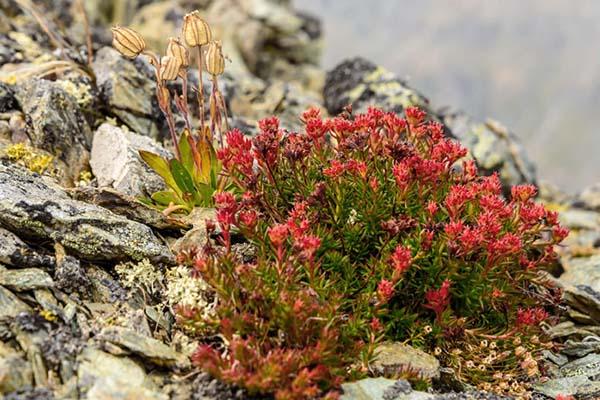 растения для альпийской горки радиола розовая