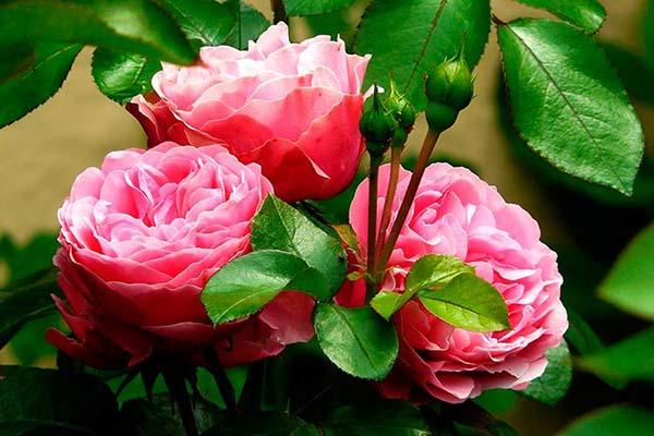 розы на продажу