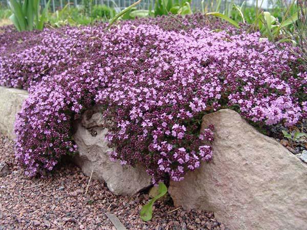 растения для альпийской горки тимьян